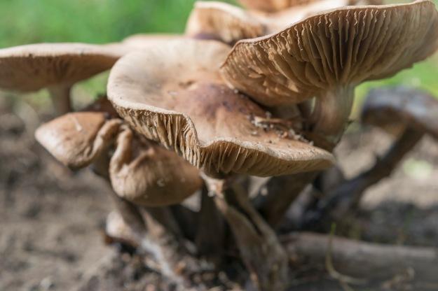 mushroom cluster II